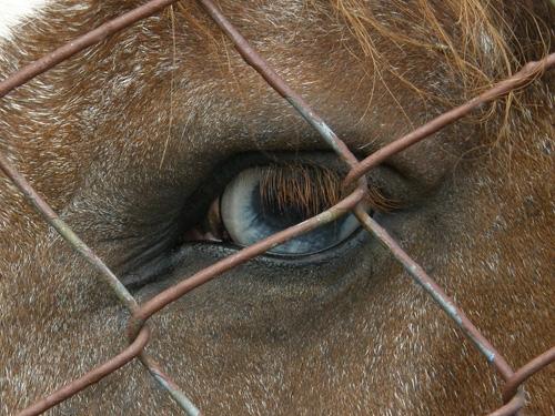 modré oko koně